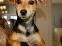 Terrier - Little Bit - Small - Baby - Female - Dog