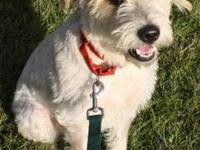 Terrier - Molly - Large - Young - Female - Dog Molly is