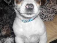 Terrier - Oliver - Small - Baby - Male - Dog Meet