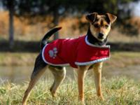 Terrier - Pedro - Small - Young - Male - Dog Pedro is a
