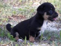 Terrier - Penney - Small - Baby - Female - Dog Penney,