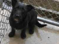 Terrier - Red - Small - Young - Female - Dog 8-10 month