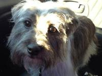 Terrier - Scruffy - Small - Adult - Male - Dog 2 year