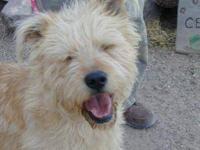 Terrier - Shaggy Da - Large - Young - Male - Dog Shaggy