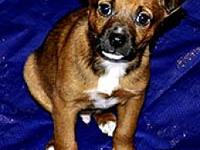 Terrier Tagalong's story This pups is one of the