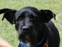 Terrier - Tanner - Small - Adult - Male - Dog