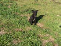 Terrier - Terrier Female - Small - Baby - Female - Dog