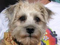 Terrier - Travis - Medium - Adult - Male - Dog Travis