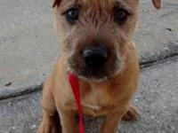 Terrier - Winslow - Large - Young - Male - Dog $90