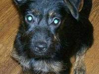 Terrier - Wolfie - Small - Baby - Male - Dog Wolfie is