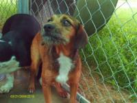 Terrier - Annie Terrier Beagle Mix F 7 Mos - Medium -