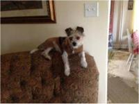 Terrier - Buddy - Small - Baby - Male - Dog Update