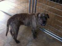 Terrier - Ponce - Medium - Adult - Male - Dog (For more