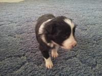 This is a female border collie pup that was born