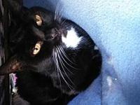 Tess's story 7 yr DSH Black and White Spayed Female