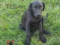 Tessa's story Tessa is a young lab mix puppy who is