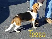My story Tessa is a super sweet little Beagle. She is
