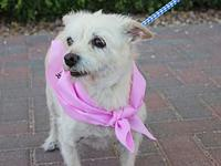 TESSY's story So cute! Tessy is an adult cairn terrier