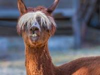 NOW AVAILABLE TEX Huacaya Alpaca Gelded Male