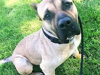 Tex's story Handsome Tex is a big mastiff mix sweetie