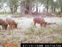 Private Ranch in The Texas Hill Country with big hogs