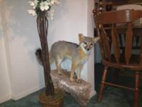 This first is a Texas Swift Fox Mount taxidermy. The