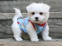 Text  Maltese Puppies for adoption  AKC registered Male