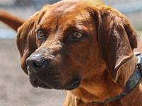Teyla's story Teyla is a red brown Coonhound mix who is