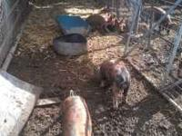 We have 100#+/- roaster pigs theese pigs are heratige