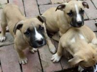 These are wonderful American Pitbull Puppies!!! This is