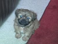 Pure reproduced male shih Tzu dog, has had first set of