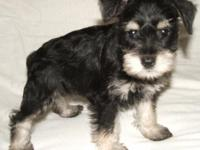 Schnauzer Miniature AKC One puppy remaining. She was