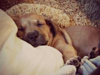 Cinderelly is an 8 week old Lab mix who was saved from