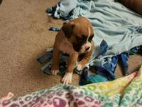 We have the Cutest boxer puppies, We have 1 male boxer