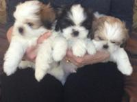 Shih Tzu puppies  looking for new homes,  new friends
