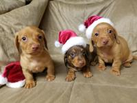 these pups will be available for pick up on dec 23rd.