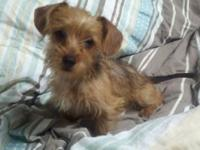 Cookie is a Dorkie puppy & & was born upon July 27,2014