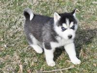 The Siberian husky puppies are available. They are 11
