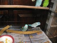 This is the smallest and the tamest parrotlet in the