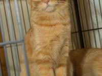 The Golden Girl is a five month old spayed female cat