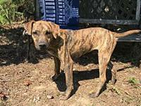 Theo's story Theo is a male Mountain Cur/Catahoula