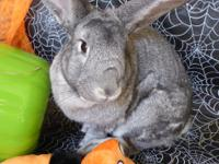 Theodocia is a large (but not giant) Chinchilla rabbit