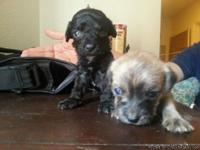 these adorable  puppies are looking for good home