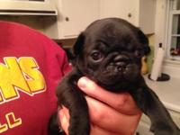 We have a litter of pug puppies that are 5 weeks old,