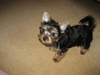 They are purebred Yorkie who are expected to be about 5