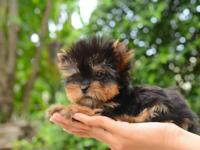 They are teacup-sized that has great Yorkie coloring,