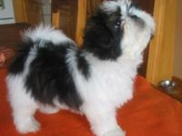 Pure breed male CKC Shih Tzu . His provisional name is