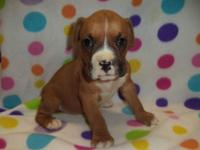This stunning male Boxer young puppy is nicknamed