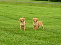 Ready now! Purebred reg golden retriever puppies males