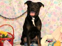 Thor is a 5 yr old neutered male boxer/rott who came to